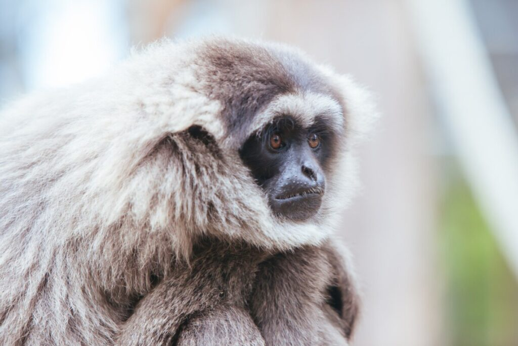 A Silvery Gibbon in Australia